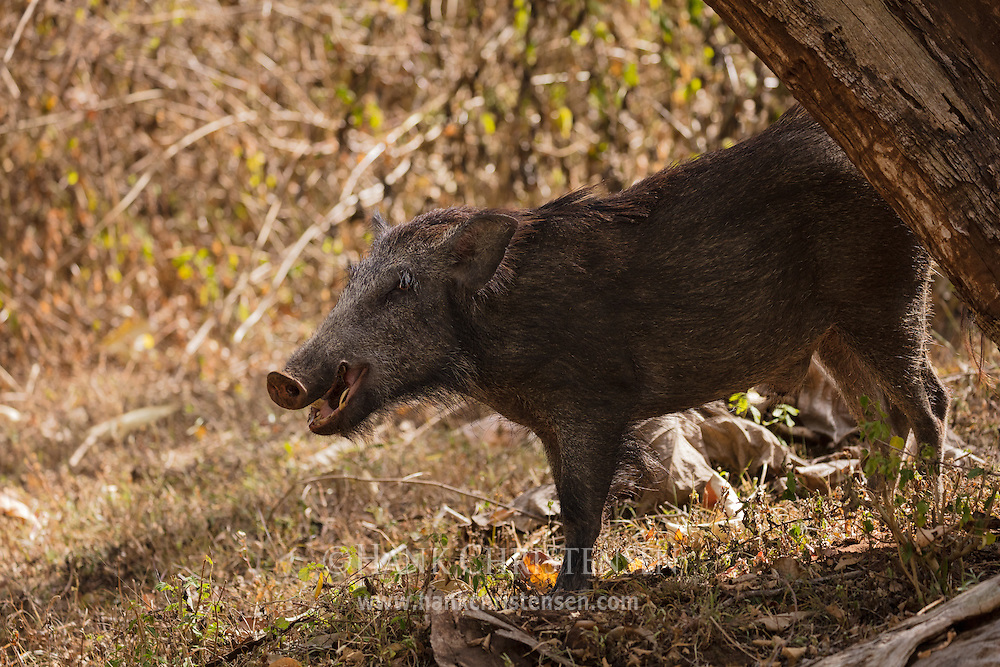 An indian boar roots around on the ground, Mudumalai National Park, India.