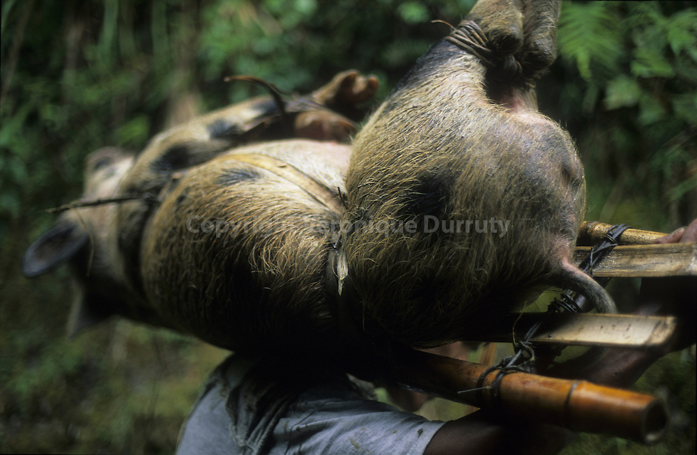 CARRYING A PIG FOR CHRISTMAS, BATAD, LUZON, THE PHILIPPINES // // adolescents de l 'ethnie Ifugao transportant un porc vivant sur ces epaules, une journée de marche dans les chemins de montagne pour rejoindre son village. il sera sacrifié pour les fêtes de fin d'année. Région de Batad, Cordilliere, ile de Luzon, Philippines