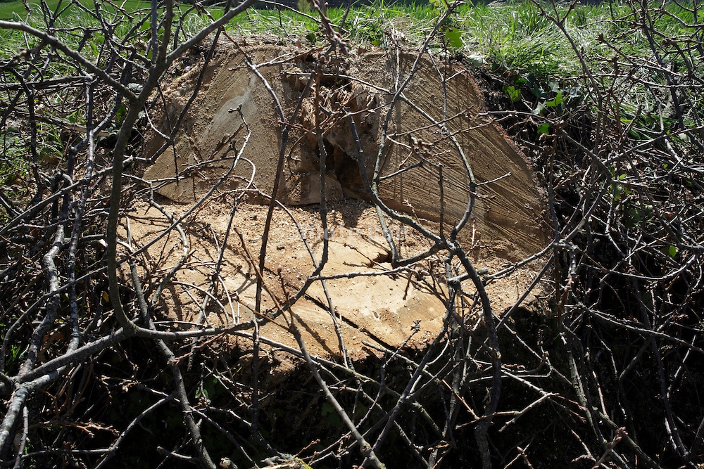 stump of fresh cut down tree