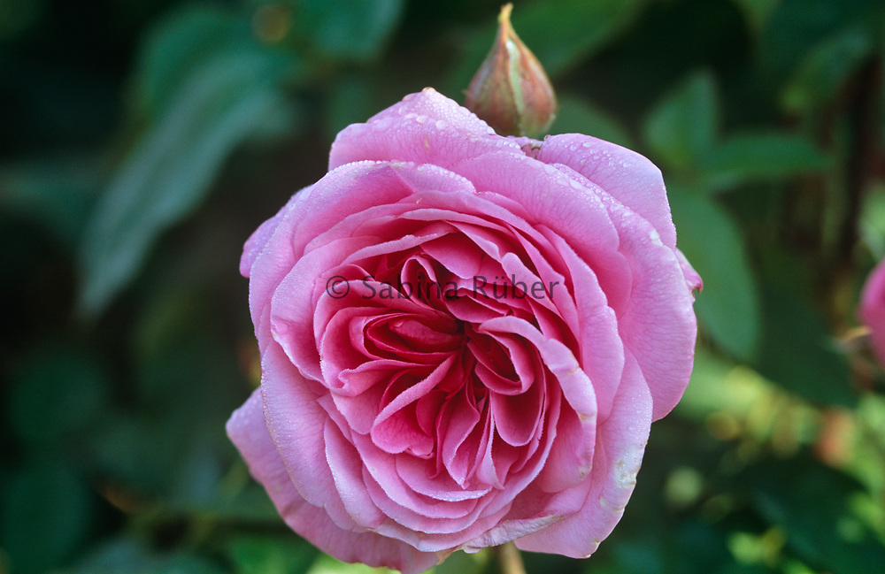 Rosa 'Gertrude Jekyll' - English Rose - bred by David Austin - climbing rose