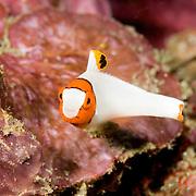 Bicolor Parrotfish Cetoscarus bicolor at Lembeh Straits, Indonesia.