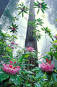 Rhododendron and Redwood trees; Damnation Creek Trail, Del Norte Redwoods State Park, California.