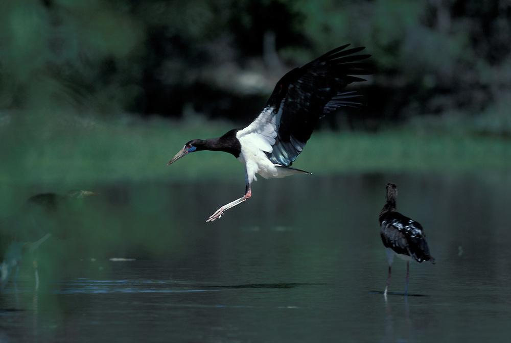 Namibia, Etosha National Park, Black-headed Heron lands in desert water hole (Ardea melanocephala)