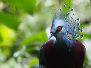 A Victoria-Crowned Pigeon seen at the Central Park Wildlife Center