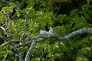 White Fairy Tern, Gygii alba, Henderson island (World Heritage site), Pitcairn Group<br />
