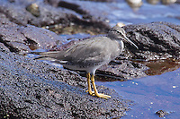 Wandering Tattler photo Hawaii