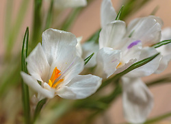 THEMENBILD - weisse Krokusse sind eine Gattung der Schwertliliengewächse (Iridaceae) und blühen im Frühjahr, aufgenommen am 02. März 2018, Ort, Österreich // White crocuses are a genus of Iris family (Iridaceae) and bloom in the spring on 2018/03/02, Ort, Austria. EXPA Pictures © 2018, PhotoCredit: EXPA/ Stefanie Oberhauser