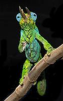 Johnstons Chameleon (Chamaeleo Johnstoni)
