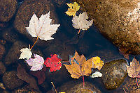 Maples leaves floating on water