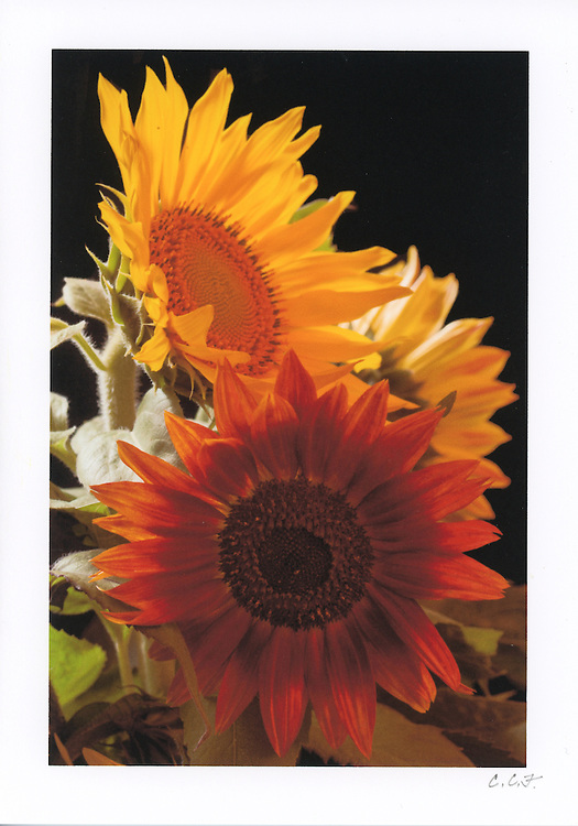 """Greeting Card with image of 3 sunflowers on black background printed on archival card stock. Blank inside. 5""""x7"""". Envelope included."""