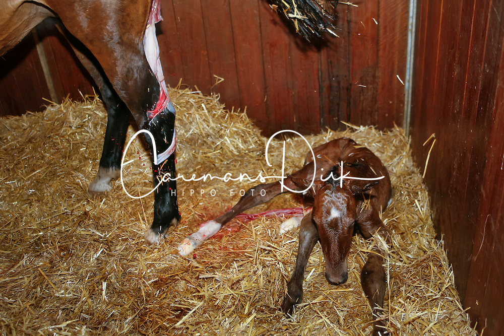 Birth of a foal<br /> Stal Roelofs - Den Ham 2009<br /> &copy; Hippo Foto - Karin Van Der Meul