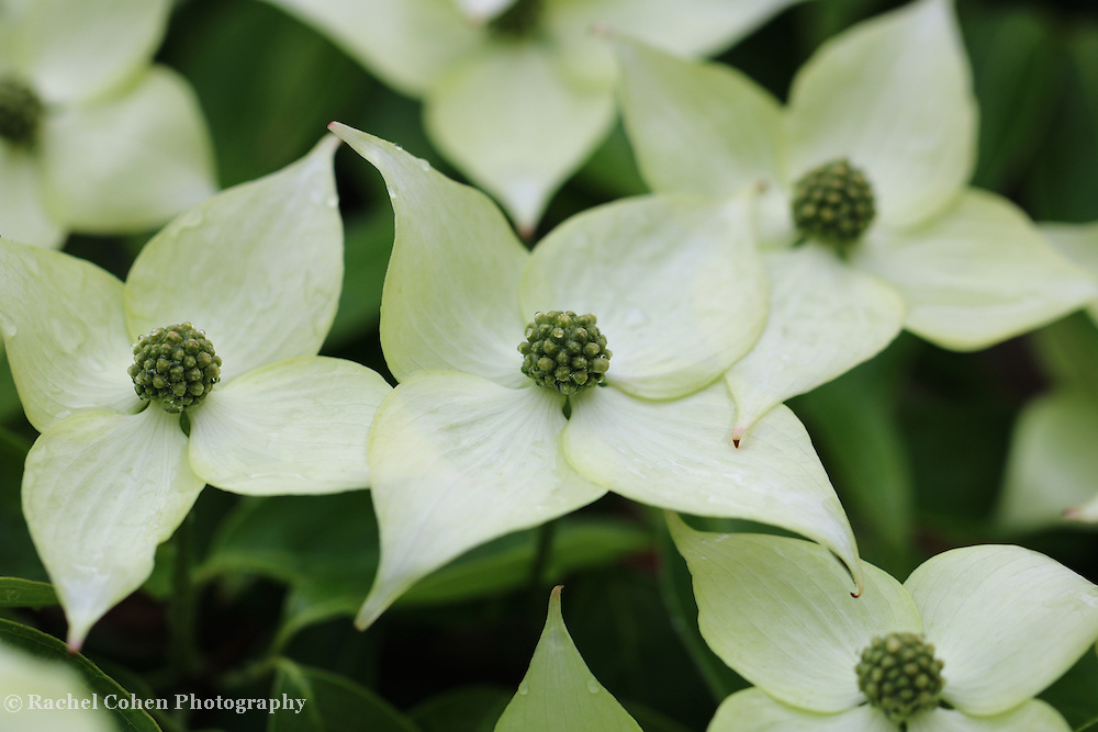 &quot;Kousa Dogwood&quot;<br />