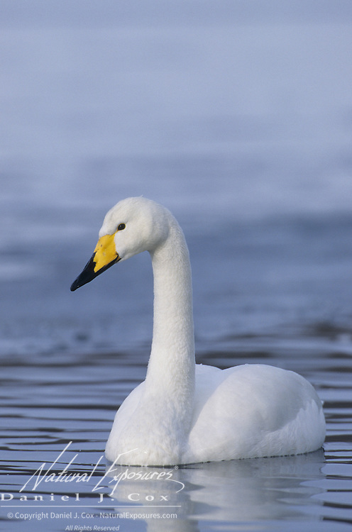 Whooper Swan (Cygnus cygnus) in Japan.