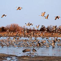 Sandhill Cranes Rowe Audubon Sanctuary Nebraska