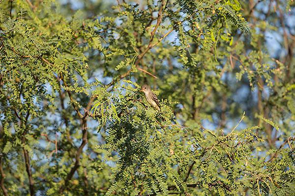 Ash-throated flycatcher in tree