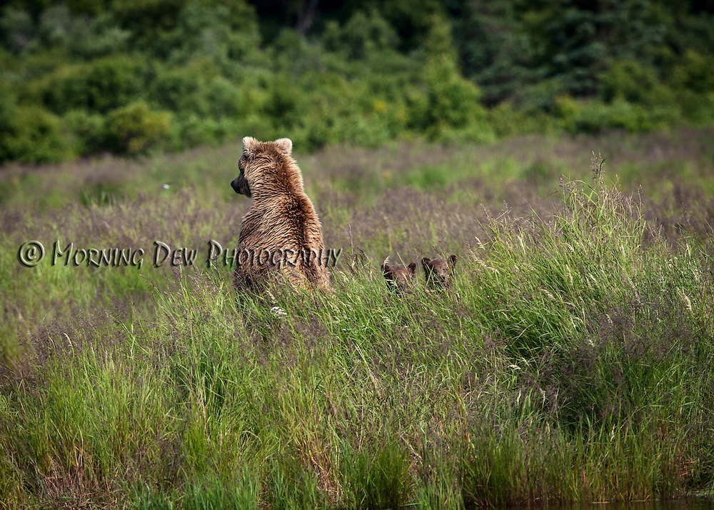 A brown bear and her cubs check the surroundings for danger at Brooks River, Katmai National Park, Alaska