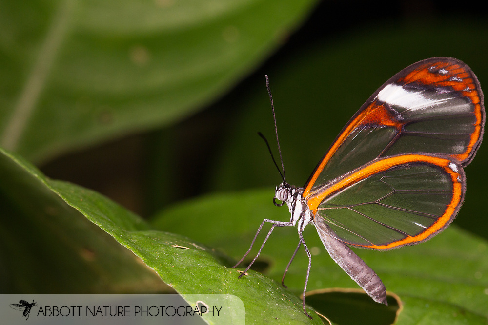 Glasswinged Butterfly 201409118191jpg Abbott Nature Photography