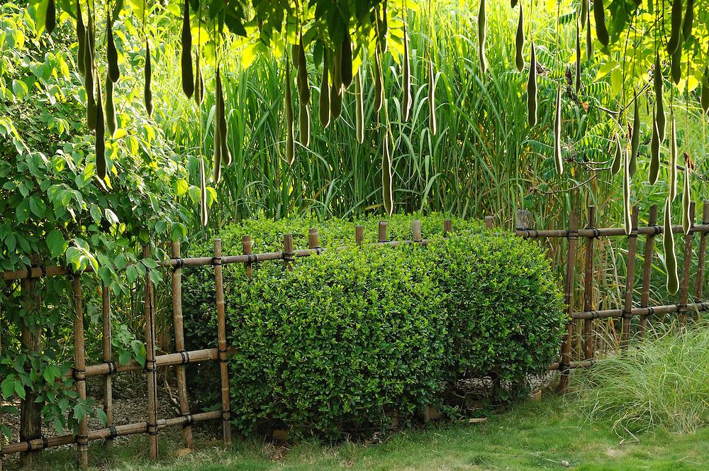 France, Languedoc Roussillon, Hérault, Assas, le jardin de Jean-Jacques Derboux, jardin d'inspiration japonaise, pittosporum troncatum