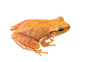 spring peeper (Pseudacris crucifer)<br /> United States: Alabama: Tuscaloosa Co.<br /> Tulip Tree Springs off Echola Rd.; Elrod<br /> 7-Feb-2018<br /> J.C. Abbott