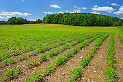 Field of Soybeans <br /> St. Armand<br /> Quebec<br /> Canada