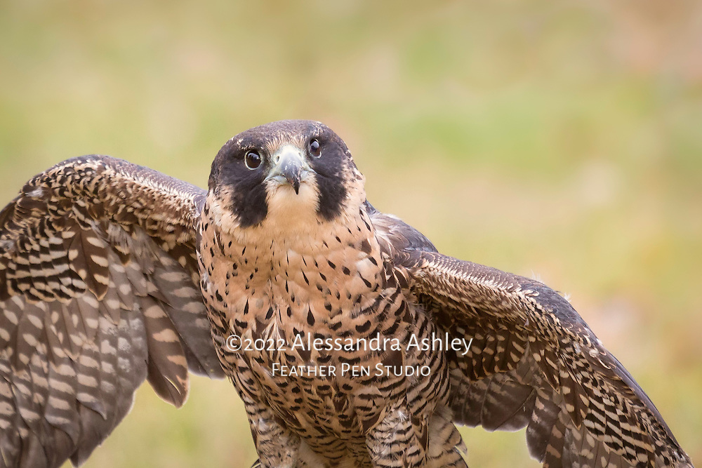 Peregrine falcon female, wings extended. The peregrine falcon, a highly skilled hunter that snatches its prey mid-flight, is strikingly beautiful up close.