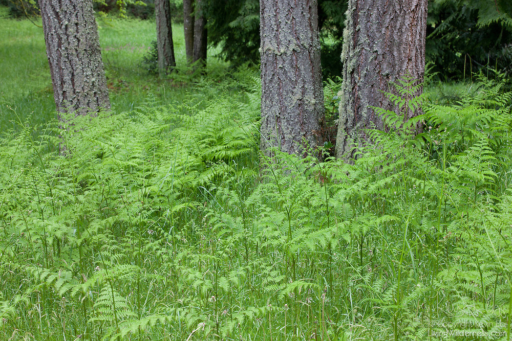 Numerous bracken ferns (Pteridium aquilinum) form a forest carpet beneath the grand fir (Abies grandis) trees in the Bloedel Reserve on Brainbridge Island, Washington.