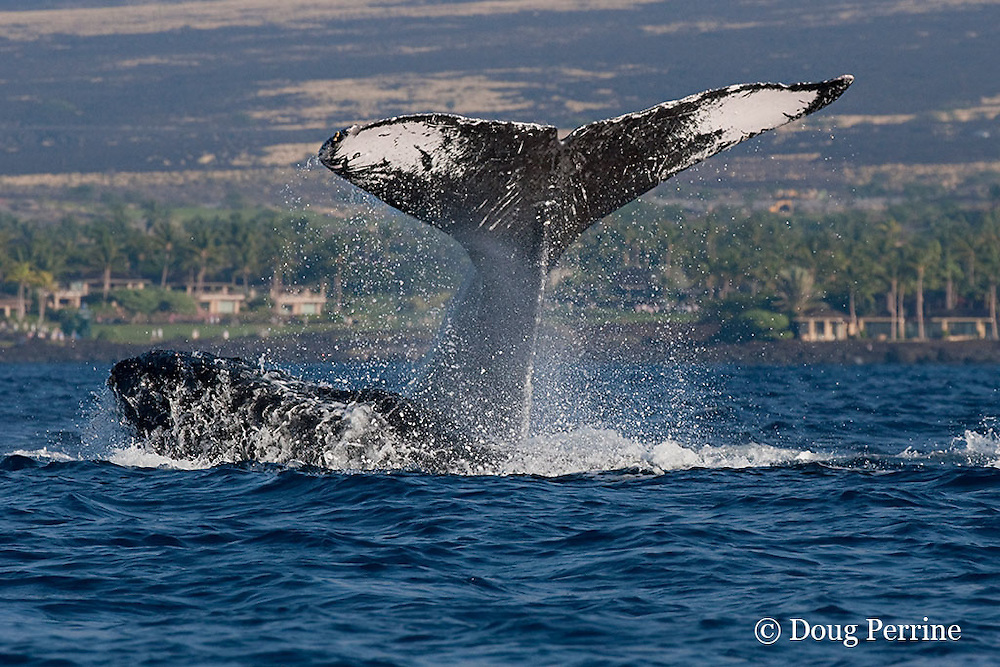 humpback whales, Megaptera novaeangliae, in competitive group; one whale is lobtailing or fluke-slapping while a competitor charges it in front of Kukio Resort, Kona Coast of Hawaii Island, the Big Island ( Central Pacific Ocean )