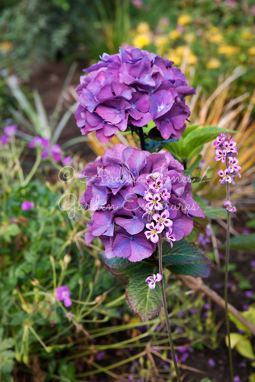 Hydrangea cv<br /> 2 Durnamuck, Little Loch Broom, Wester Ross, Scotland