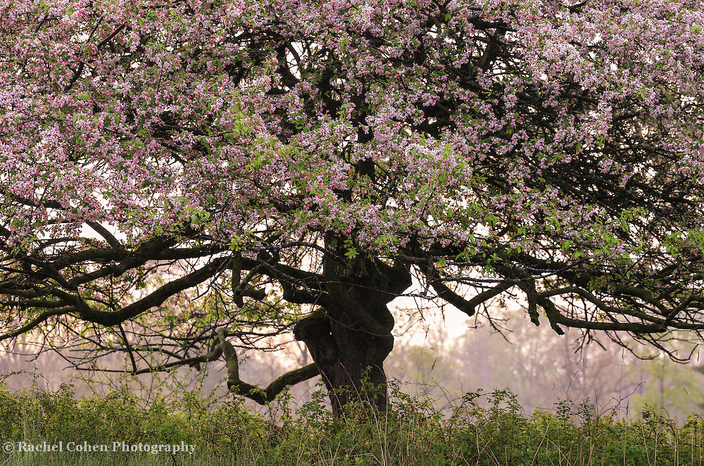 &quot;Foggy Spring Morning&quot; <br /> <br /> Beautiful sunlight and fog through  an apple tree full of spring blossoms in April!
