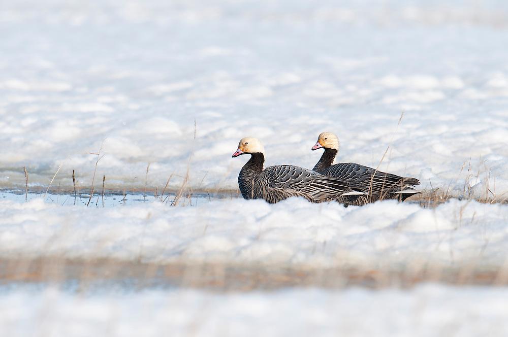 Emperor Geese, Chen canagica, Yukon Delta NWR, Alaska