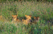 Lion cubs, Panthera leo, lying in grass in Maasai Mara National Reserve, Kenya, Africa