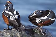 Harlequin Duck; Histrionicus histrionicus; two males;  NJ, Barnegat Light;