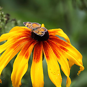An American Painted Lady Butterfly, Vanessa virginiensis, feeding on a Black-eyed Susan, Rudbeckia hirta,  flower. Lord Stirling Environmental Center, Basking Ridge, Somerset County, New Jersey, USA