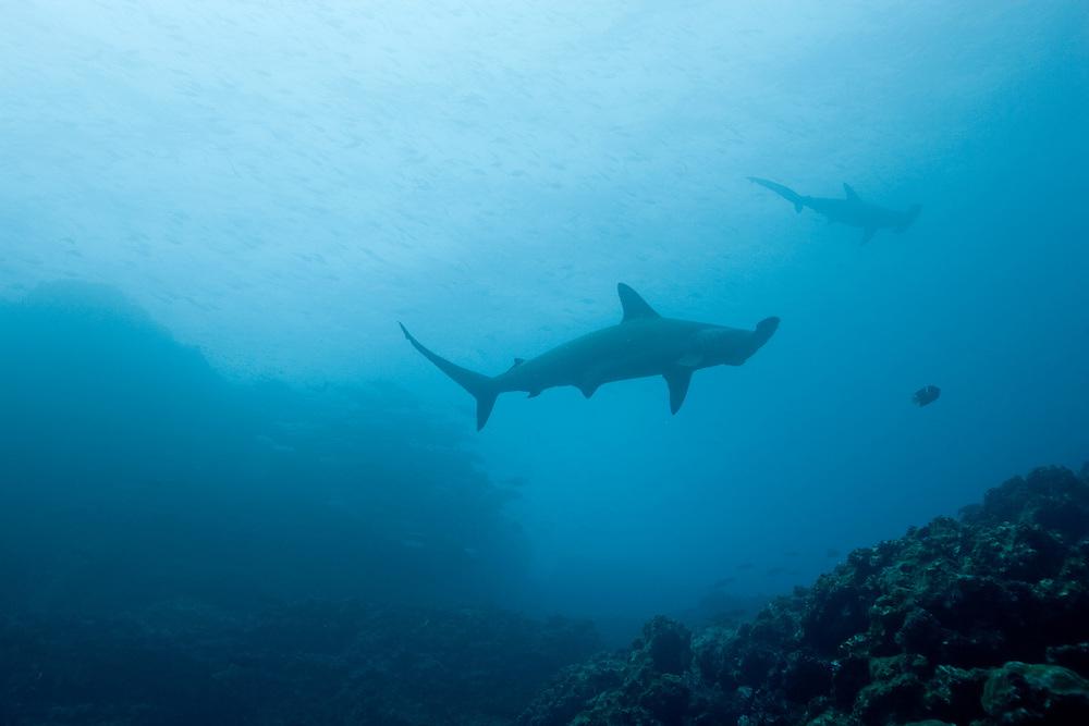 Ecuador, Galapagos Islands, Darwin Island, Underwater view of Hammerhead Sharks (Sphyrna lewini)