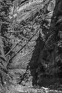 Having lost support due to flood erosion, Douglas fir trees lean across narrow canyon, North Fork of the Virgin River, © 1990 David A. Ponton