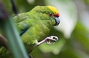 Kakariki, native nz bird in Auckland. Taken for Forest & Bird magazine.