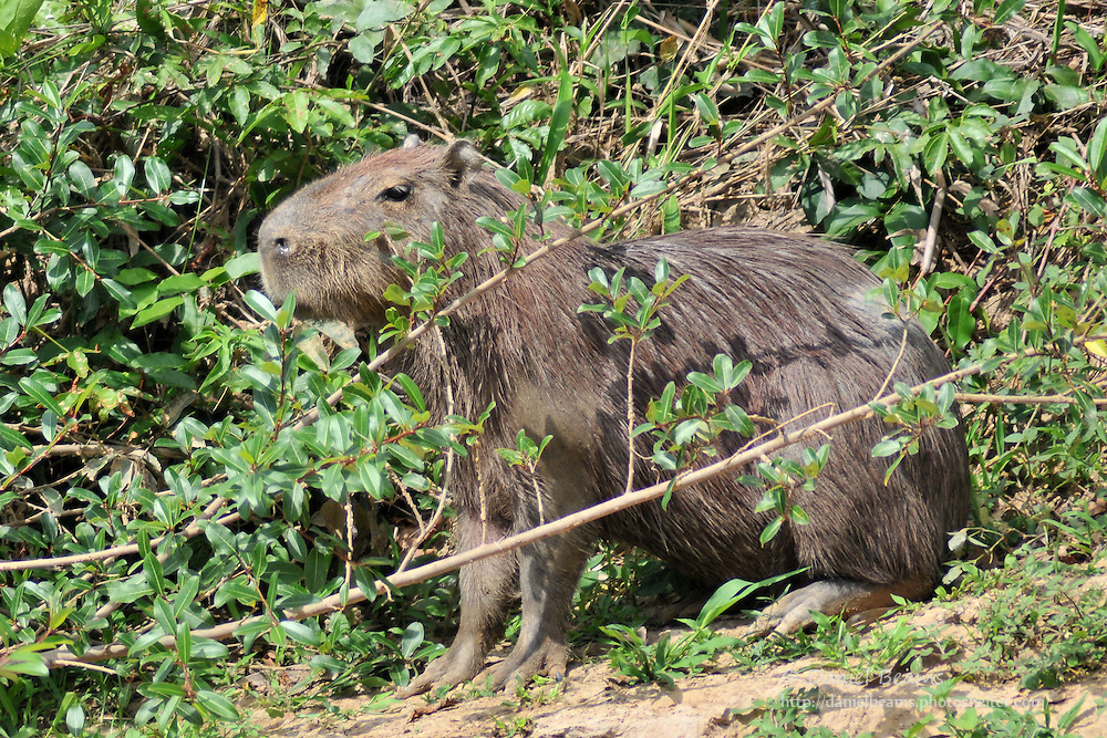 Capibara on the banks of the Secure River in the Isiboro-Secure National Park, Beni, Bolivia