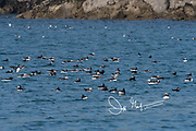Atlantic puffins and Razorbills rest on the top of the coastal waters that surround Skomer Island, a National Nature Reserve of Wales, U.K.
