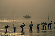 2007 Pelicans in Fog with Fishing boat in Background The American white pelican is a large aquatic soaring bird from the order Pelecaniformes. It breeds in interior North America, moving south and to the coasts, as far as Central America and South America, in winter.