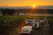Harvest at Argyle's Lonestar Vineyard, Eola-Amity AVA, Willamette Valley, Oregon