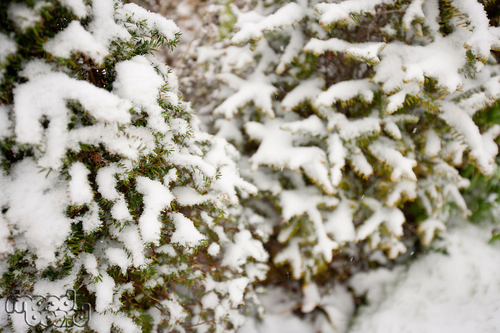 Close-up view of tree branches covered in snow