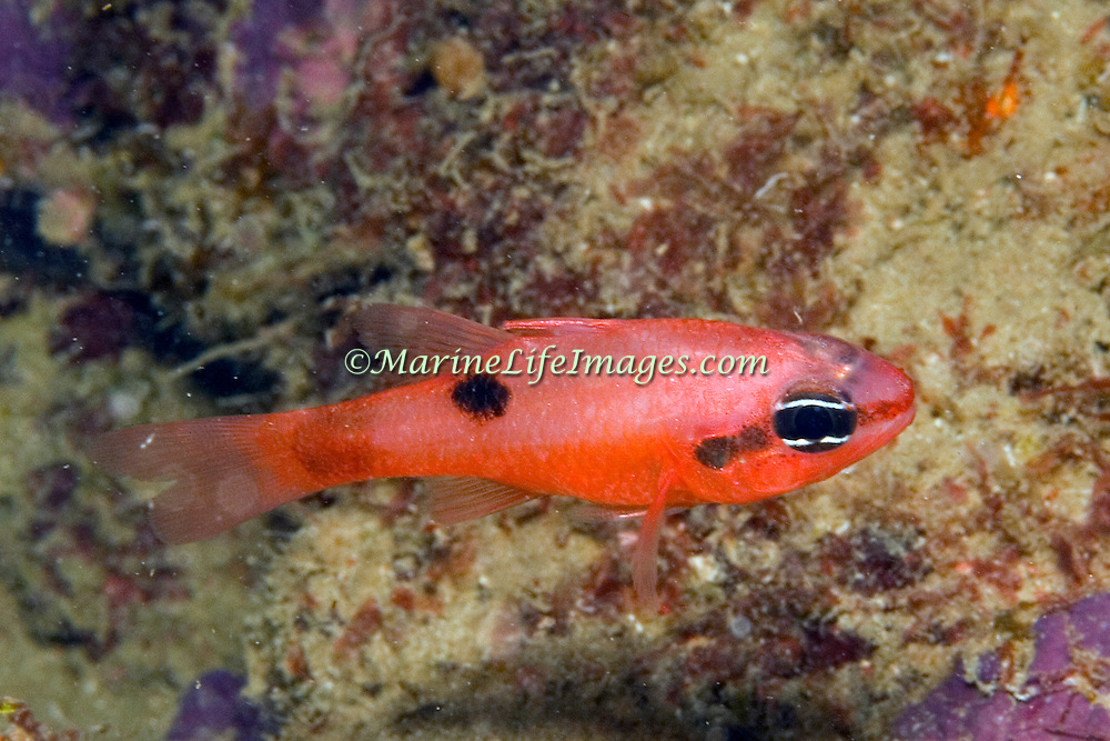 Flamefish prefer shallow water, drift inthe openings to dark recesses in Tropical West Atlantic; picture taken Grand Cayman.
