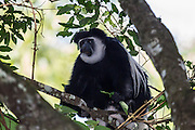 Abyssinian black and white colobus monkey, on of the specialities of Arusha National Park, Tanzania, Africa.