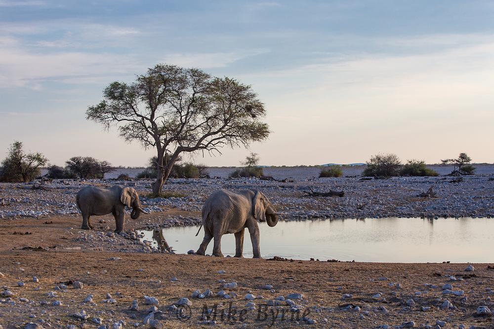 Elephant in Etosha National Pakr, Namibia.