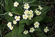 Primrose flower and leaves primula veris, Suffolk, England
