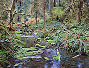 Small Creek in Lush Green Hoh Rainforest, Olympic National Park, WA.