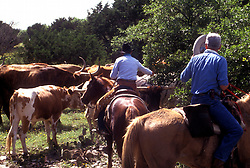two ranchers riding horses behind a herd of cattle