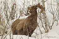 Bighorn sheep ram in aspen grove in winter in the Gallatin National Forest, Montana, USA