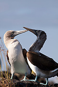 A pair of blue-footed boobies (Sula nebouxii)  near the coast of Isabela Island, Galapagos Archipelago - Ecuador.