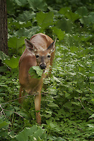 Either this white-tailed doe is really hungry or my aunt and uncle have the best tasting vegetation in their back yard.